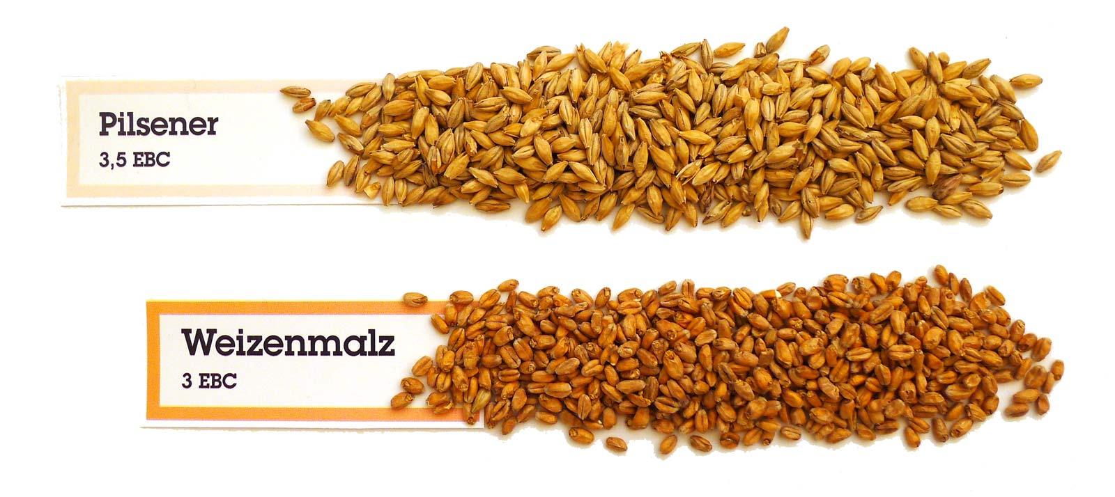 Malzkörner der Sorten Pilsener Malz und Weizenmalz